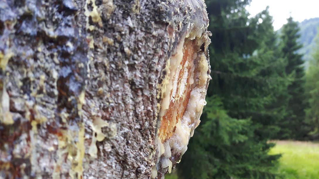 MSM Sutrio ecologia - tronco con resina